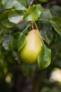 Pear_on_Tree_1
